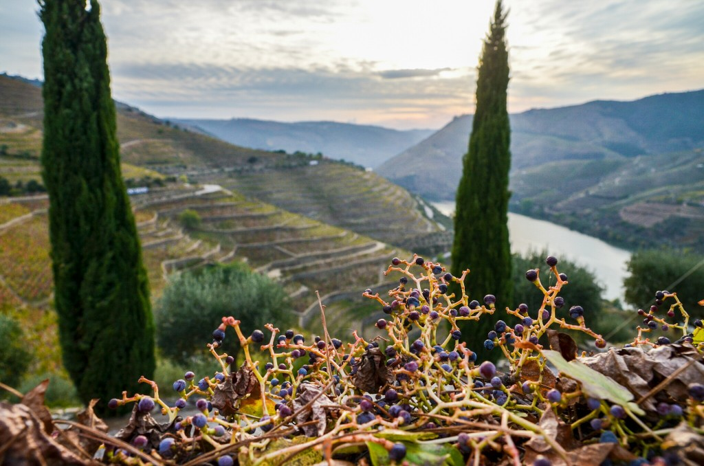 The harvesting of grapes has drawn to a close as we take this look at the Douro River. But the valley is not just vineyards. It's full of olive groves and almond trees as well.